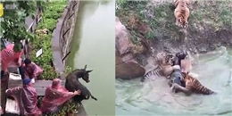 Sở thú Trung Quốc gây phẫn nộ khi cho hổ ăn lừa sống trước mặt trẻ nhỏ