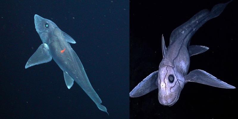Lạ lùng loài cá mập ma trữ tinh trùng nhiều năm để... dùng dần