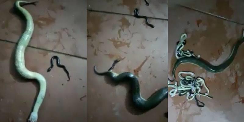 Kinh dị chứng kiến cảnh rắn đứt đầu vẫn đẻ hàng chục rắn con đầy nhà
