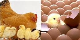 Lý giải vì sao trứng gà thường nở cùng lúc dù được đẻ vào thời gian khác nhau