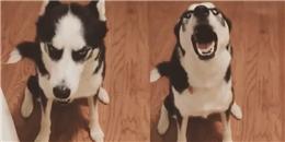 Chú cún Husky chối tội, đã trợn trừng mắt còn gân cổ cãi chủ chem chẻm