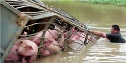 Xe tải lật, 100 chú lợn chới với giữa dòng nước
