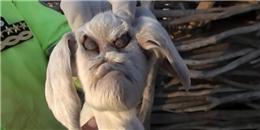 Đã tìm thấy chú dê có gương mặt xấu nhất trên đời