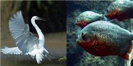 """""""Tắm"""" nhầm địa bàn, cò trắng bị đám cá cọp biến thành xương trắng sau vài giây"""
