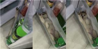 Trời nóng mà nhà không có điều hòa, cún cưng quyết nằm lì trong tủ lạnh