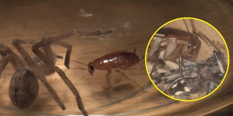 Anh chủ thất kinh khi thấy nhện cưng mình nuôi bị gián bẻ chân nhai ngấu nghiến