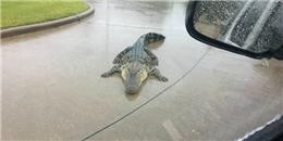 Siêu bão Harvey: Cá sấu tung tăng lượn ngoài đường, dân Mỹ chết khiếp