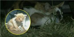 Mèo con bị mắc kẹt trong xe ô tô, mèo mẹ sống chết đuổi theo hàng km để đòi con