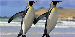 Đánh ghen mà còn buồn cười, chim cánh cụt đúng là loài dễ thương nhất quả đất