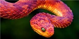 Hóa ra loài rắn trong bản hit mà Taylor Swift mới tung ra 'không hề tầm thường'