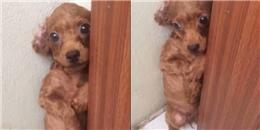Em chó bị chủ mắng vì 'phóng uế vô tổ chức', nhìn mặt thương quá đi mất