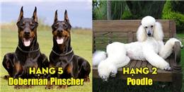Điểm danh 5 giống chó thông minh vượt trội, thuộc hàng đỉnh cao nhất thế giới