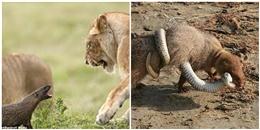 Bé như con mèo, 'gã điên' của thế giới động vật vẫn hung hăng tấn công bầy sư tử