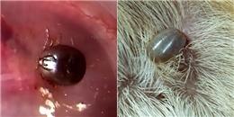 Nguy cơ bị 'sinh vật lạ' ký sinh trong tai chỉ vì một thói quen thường gặp của những người nuôi chó