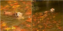 Tưởng mình là cá, 'boss' tung tăng bơi lội đáng yêu hết sức