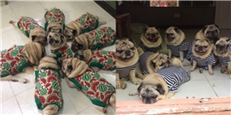 9 chú chó Pug ''núc ních'', tròn vo mặc đồng phục khiến dân mạng đổ gục vì quá dễ thương