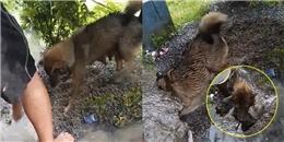 Cuộc giải cứu phi thường, chó mẹ liều mình cứu 3 cún con đang thoi thóp trong hang ngập nước
