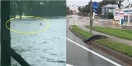 Siêu bão Irma đi qua, hết cá sấu đến cá mập thản nhiên 'lang thang' trên đường phố Florida