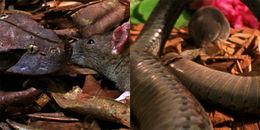 Cuộc chiến kinh ngạc: Hạ rắn độc chỉ sau 1 nhát cắn, chuột chù ăn sạch sẽ nguyên con rắn dài cả mét