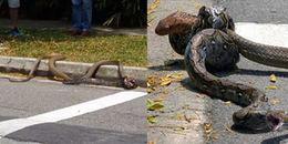 Rắn hổ mang to lớn quằn quại vì bị trăn siết cổ trên đường phố