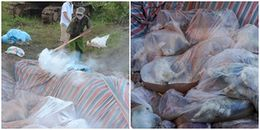 Tiêu hủy đàn lợn ở Thanh Hóa chết trong nước lũ