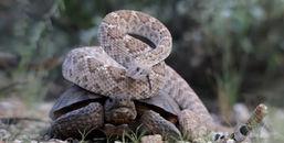 Cảnh tượng không thể tin nổi: rùa sa mạc cõng rắn chuông kịch độc trên lưng
