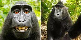 Nhìn tấm ảnh 'chú khỉ tự sướng' hết sức buồn cười này, đằng sau nó lại là một câu chuyện oái ăm