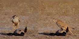 'Choáng váng' xem chim cắt thảo nguyên hạ đo ván vịt trời với tốc độ tia chớp