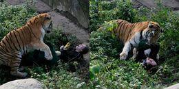 Chú hổ 16 tuổi 'điên cuồng' chồm lên tấn công nữ nhân viên sở thú trong sự hoảng hốt của nhiều người