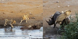 Thót tim khoảnh khắc một mình tê giác mẹ chiến đấu với 3 con sư tử để bảo vệ bào thai trong bụng