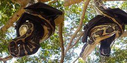 Hết hồn trước cảnh tượng trăn khổng lồ cõng dơi chúa chơi trò 'âu yếm kiểu Úc'