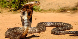 7 loài rắn nguy hiểm nhất thế giới, chẳng may mà thấy thì chạy cho nhanh nhé!