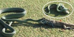 Chuyện lạ hiếm gặp: Rắn độc nuốt chửng cự đà ngay trên sân golf