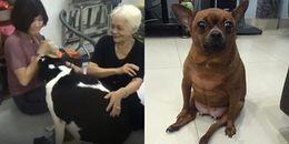 Chú chó béo ú gầm gừ, dọa cắn cô chủ vì dám giành bà ngoại khiến dân mạng thích thú