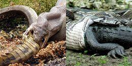 Đại chiến xảy ra, tưởng chừng cá sấu đã bị trăn nuốt chửng, nào ngờ kết cục lại thê thảm đến thế