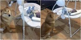 Chú chó Shiba Inu đáng yêu với biệt tài 'ru em bé ngủ' khiến dân mạng thích thú