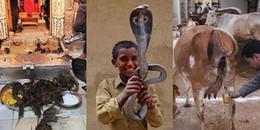 Đừng dại mà làm hại những loài vật này ở Ấn Độ, nếu không số phận của bạn sẽ thê thảm lắm...