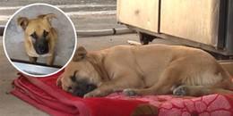 Chú chó gào thét khi ngủ mỗi đêm và sự thật đau lòng khiến gần 2 triệu người thương xót