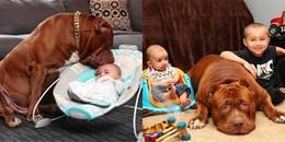 Tan chảy trước khoảnh khắc chú chó Bulldog chăm sóc em bé sơ sinh quá đỗi tình cảm