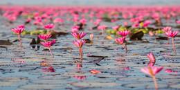 Hồ hoa súng khổng lồ ở Thái Lan