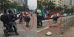 Hà Nội: Trâu 'điên' xuống đường gây náo loạn, nhiều người dân hoảng sợ để lại xe bỏ chạy