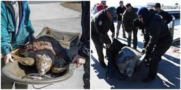 Giải cứu gần 1000 con rùa bị đông cứng dưới cái lạnh khắc nghiệt do bão tuyết tại Mỹ