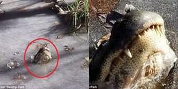Cá sấu ngủ đông trong thời tiết khắc nghiệt ở Mỹ: Tự đóng băng cơ thể, hếch mũi lên mặt nước để thở