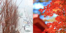 Hà Nội giờ sẽ chẳng khác gì châu Âu hay Hàn Quốc với hàng trăm cây phong lá đỏ trên mỗi tuyến phố