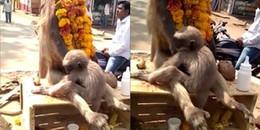 Khỉ mẹ bị điện giật chết, khỉ con ôm chặt xác gào khóc cố lay tỉnh mẹ mình