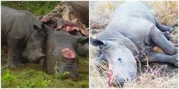 Xót xa chú tê giác con cố gắng đánh thức mẹ nằm chết trên nền đất vì bị giết để lấy sừng