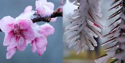 Hoa đào rừng rét quắt trong băng tuyết Sa Pa