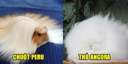 8 loài vật trở thành thú cưng vì có bộ lông mê hoặc lòng người