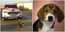 Không muốn cô chủ về nhà chồng, chú chó liên tục đuổi theo xe rước dâu đến khi kiệt sức