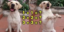 Chú chó Việt có biệt tài làm toán siêu đẳng bằng tiếng 'gâu' khiến cư dân mạng phát sốt